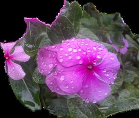 #photography raining flowers byliriosbellos fromcostarica