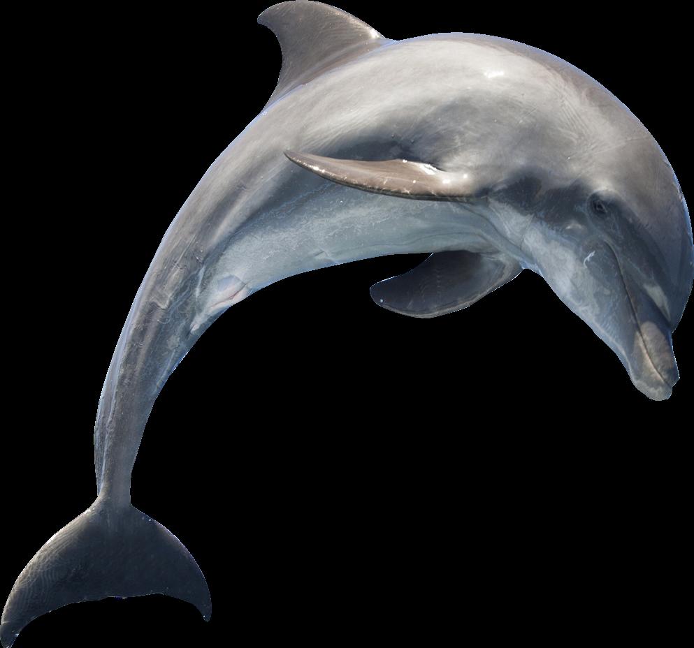 Dolphin Dolphins Delfin Delfines