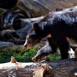 nature animals bear mountainlife