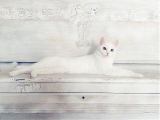 freetoedit cat white animal pet