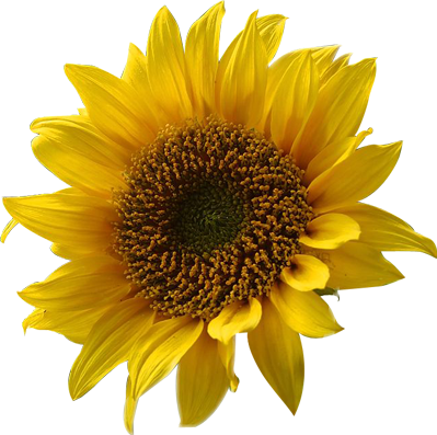 #yellow #sunflower #flower