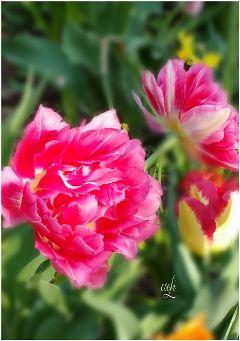 tulip red spring @csefi green