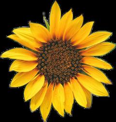 sunflower girassol flower flor adesivo