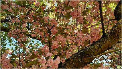 blossoms cherryblossoms tree nature naturelover