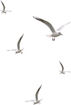 birds seagulls freetoedit