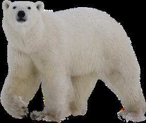 bear polar polarbear freetoedit