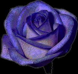 flower purple rose freetoedit