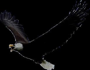 eagle freedom avian bird freetoedit
