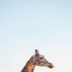 FreeToEdit giraffe animal portrait sky blue
