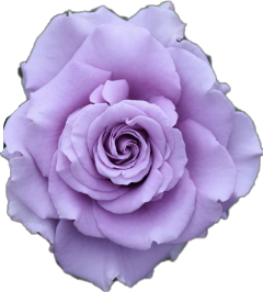 freetoedit rose flower purple sticker