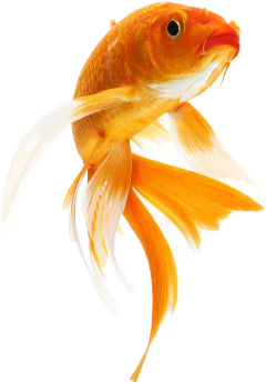fish goldfish freetoedit