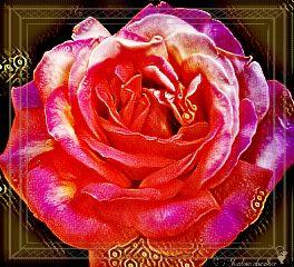 rose magiceffect flower rosegoldeffect frame