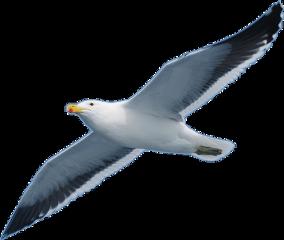 seagull bird freetoedit