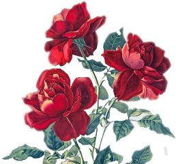rose roses red flowers freetoedit