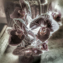 orchid myphotography myedit grungeeffect pautzispics