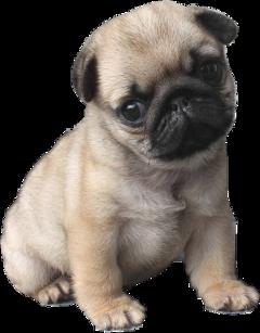 pug puglife pugsofpicsart usethis cute