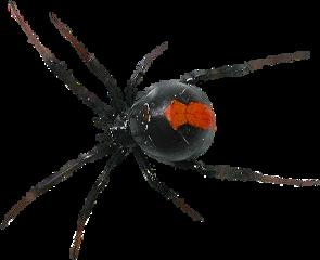 hellavondeath blackwidow black widow bug freetoedit